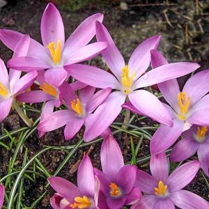 Crocus Tommasinianus 'Roseus', Crocus 'Roseus', Early Crocus, Botanical Crocus, Snow Crocus, Lilac Tommy, Pink Crocus, Spring Bulbs, Spring Flowers, early spring bulb, late winter blooming bulb