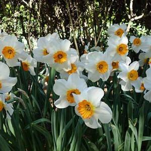 Narcissus Barrett Browning, Daffodil Barrett Browning,Narcisse Barrett Browning, Small-Cupped Daffodils, white daffodil, Award daffodil