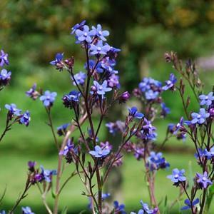 Anchusa Azurea, Blue Bugloss, Anchusa Italica, Alkanet, Italian Alkanet, Italian Bugloss, Blue flower, Blue flowers