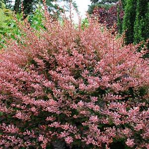thunbergii f. atropurpurea 'Rose Glow', Japanese Barberry 'Rose Glow', Berberis thunbergii 'Rose Glow', Berberis 'Rose Glow', Pink Berberis