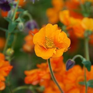 Geum 'Prinses Juliana', 'Prinses Juliana' Avens, Orange Geum, Orange Avens, Orange Flowers