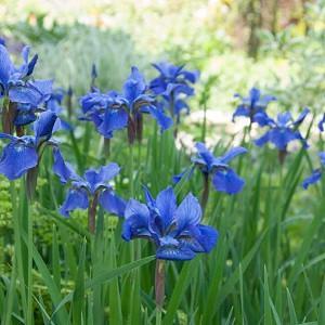 Siberian Iris Blue Moon, Iris Sibirica Blue Moon, Siberian flag Blue Moon, blue flowers, blue siberian iris, blue iris