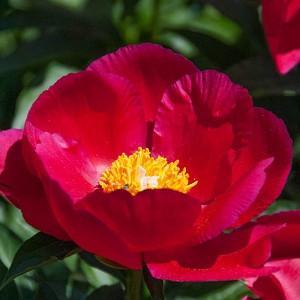 Paeonia 'America', Peony 'America', 'America' Peony, Red Peonies, Red Flowers, Fragrant Peonies