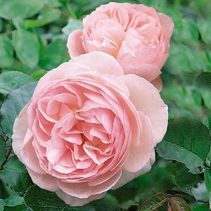 Rose 'Heritage', Ausblush, Rosa 'Heritage', English Rose 'Heritage', David Austin Roses, English Roses, Climbing Roses, Shrub Roses, Pink roses, Very fragrant roses, Fragrant roses