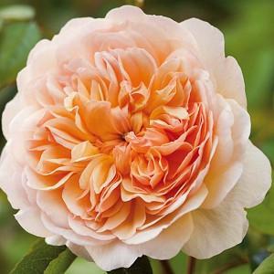 Rose Port Sunlight, Rosa Port Sunlight, English Port Sunlight, David Austin Roses, English Roses, Yellow roses, shrub roses, Rose Bushes, Garden Roses, very fragrant roses, Favorite roses, Hedge roses