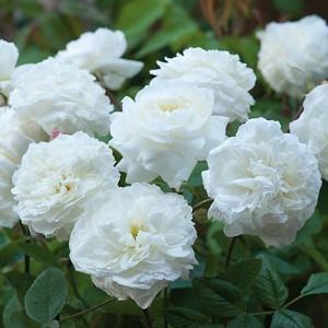 Rose Susan Williams-Ellis, Rosa Susan Williams-Ellis, English Rose Susan Williams-Ellis, David Austin Roses, English Roses, English Rose, Shrub roses, Rose Bushes, Garden Roses, white roses