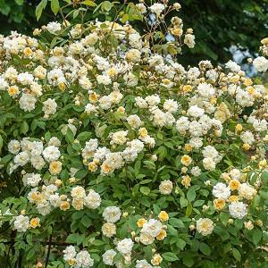 Rose Malvern Hills, Rosa Malvern Hills, Rambler Roses, English Roses, David Austin Roses, Climbing Roses, Rambler Roses, Yellow roses, Fragrant roses