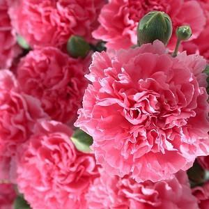 Dianthus 'Pink Fizz', Pink 'Pink Fizz', Pink Fizz Pink, Salmon Flowers, Salmon Dianthus, Pink Flowers, Pink Dianthus,Pink Garden Pink