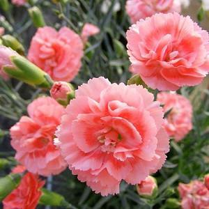 Dianthus 'Romance', Pink 'Romance', Romance Pink, Salmon Flowers, Salmon Dianthus, Pink Flowers, Pink Dianthus,Pink Garden Pink