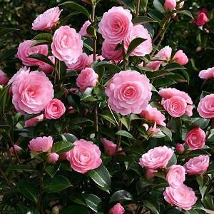 Camellia x Williamsii 'E.G. Waterhouse', Camellia E.G. Waterhouse, E.G. Waterhouse Camellia, Spring Blooming Camellias, Late Season Camellias, Pink flowers, Pink Camellias