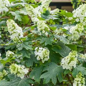 Hydrangea Quercifolia 'Snow Queen',Oakleaf Hydrangea 'Snow Queen', Hydrangea quercifolia 'Flemygea', white flowers, white hydrangea