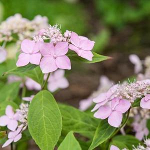 Hydrangea serrata 'Diadem', Mountain Hydrangea 'Diadem', Diadem Mountain Hydrangea, Pink Flowers, Pink Hydrangea