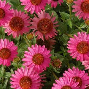 Echinacea 'Amazing Dream', Coneflower 'Amazing Dream', Pink coneflower, Pink coneflowers, Pink Echinacea, Coneflower, Coneflowers