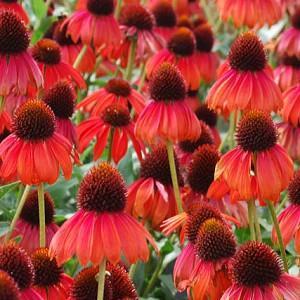 Echinacea 'Firebird', Coneflower 'Firebird',Red coneflower, Red Echinacea, Coneflower, Coneflowers