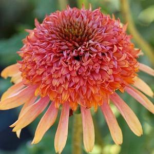Echinacea 'Secret Desire', Coneflower 'Secret Desire', Orange coneflower, Orange coneflowers, Orange Echinacea, Double coneflower, Double coneflowers, Double Echinacea, Coneflower, Coneflowers