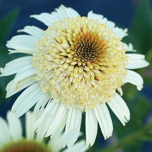 Coneflower Secret Pride, Coneflower 'Secret Pride', Echinacea Purpurea 'Secret Pride' , Double Coneflower, Double Echinacea, White Coneflowers, White Echinacea