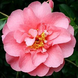 Camellia x Williamsii 'Elegant Beauty', Camellia 'Elegant Beauty', 'Elegant Beauty' Camellia, Camellia japonica 'Elegant Beauty', Winter Blooming Camellias, Spring Blooming Camellias, Mid Season Camellias, Pink flowers, Pink Camellias