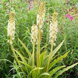 Eucomis Glow Sticks, Pineapple LilyGlow Sticks, Eucomis, Pineapple Lilies, Pineapple Flowers, Pineapple Lily, White Eucomis
