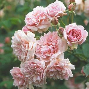 Rosa Felicia, Rose Felicia, Hybrid musk Rose Felicia, David austin rose, Reverend Pemberton Roses, agm roses, Fragrant roses., Shrub roses, pink roses, Climbing Roses, fragrant roses