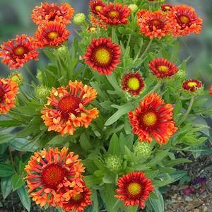 Gaillardia 'Fanfare Blaze',Blanket Flower 'Fanfare Blaze', Gaillardia x Grandiflora 'Fanfare Blaze', Blanket Flowers, Orange Flowers, Bicolor Flowers, Drought tolerant flowers, Salt tolerant flowers
