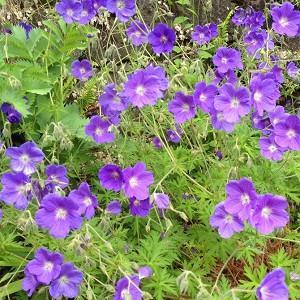 Geranium Orion, Hardy Geranium Orion, Crane's Bill Orion, Award geranium, AGM Geranium, Best geraniums, Best groundcovers, blue geranium, violet geranium