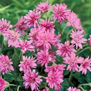 Geranium × oxonianum f. thurstonianum 'Southcombe Double', Thurston's cranesbill 'Southcombe Double', Geranium 'Southcombe Double', Hardy Geraniums, Best geraniums, pink geranium, pink flowers, Double Geranium