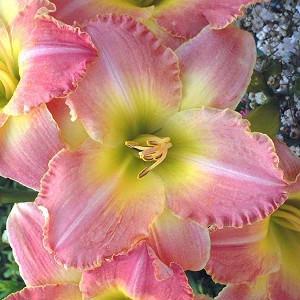 Hemerocallis 'Country Melody', Daylily 'Country Melody', Day Lily 'Country Melody', 'Country Melody' Daylily, Midseason Daylily, Pink daylilies, Pink Daylily, Day Lilies, Pink flowers, Pink Hemerocallis