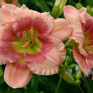 Hemerocallis Flamingo Fantasy, Daylily Flamingo Fantasy, Day Lily Flamingo Fantasy, Flamingo Fantasy Daylily, Early Midseason Daylily, Pink daylilies, Pink Daylily, Pink flowers, Pink Hemerocallis