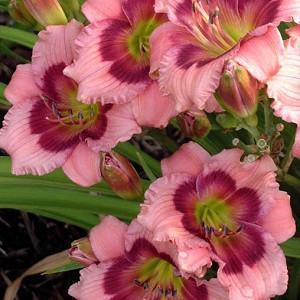 Hemerocallis 'Mardi Gras Parade', Daylily 'Mardi Gras Parade', Day Lily 'Mardi Gras Parade', 'Mardi Gras Parade' Daylily, Early Midseason Daylily, Lavender daylilies, Lavender Daylily, Day Lilies, Lavender flowers, Lavender Hemerocallis