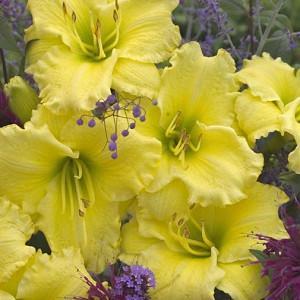 Hemerocallis Omomuki, Daylily Omomuki, Day Lily Omomuki,Omomuki Daylily, Early Midseason Daylily, Yellow daylilies, Yellow Daylily, Yellow flowers, Yellow Hemerocallis