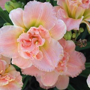 Hemerocallis 'Siloam Double Classic', Daylily 'Siloam Double Classic', Day Lily 'Siloam Double Classic', 'Siloam Double Classic' Daylily, Early Midseason Daylily, Pink daylilies, Pink Daylily, Pink Hemerocallis