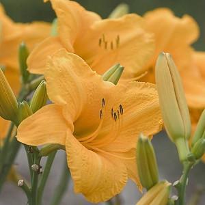 Hemerocallis Spellbinder, Daylily Spellbinder, Day Lily Spellbinder, Spellbinder Daylily, Late Midseason Daylily, orange daylilies, orange Daylily, Day Lilies, orange flowers, orange Hemerocallis
