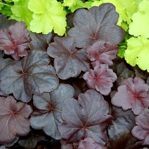 Heuchera 'Obsidian', Coral Bells 'Obsidian', Alum Root 'Obsidian', Coral Flower 'Obsidian', Shade plants, Evergreen plants
