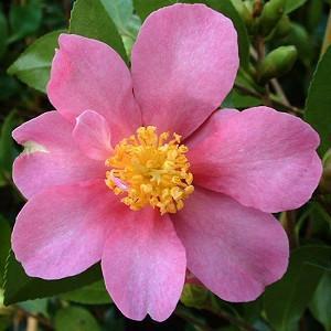 Camellia Sasanqua 'Hugh Evans', Camellia 'Hugh Evans', 'Hugh Evans' Camellia, Fall Blooming Camellias, Winter Blooming Camellias, Pink flowers, Pink Camellias, Early Season Camellias