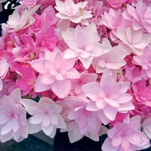 Hydrangea Macrophylla 'Passion', Bigleaf Hydrangea 'Passion', Mophead Hydrangea 'Passion', Hydrangea macrophylla 'Youmefour', Hydrangea macrophylla 'RIE4', You-Me Series, Pink Hydrangea, Blue Hydrangea, Double Hydrangea