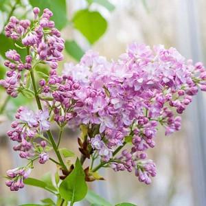 Syringa vulgaris 'Katherine Havemeyer',Syringa 'Katherine Havemeyer', Lilac 'Katherine Havemeyer', Lavender lilac, Fragrant Lilac, Lavender Flowers, Fragrant Shrub, Fragrant Tree