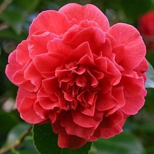 Camellia Japonica 'Kramer's Supreme', Camellia 'Kramer's Supreme', 'Kramer's Supreme' Camellia, Winter Blooming Camellias, Spring Blooming Camellias, Mid Season Camellias, Red flowers, Red Camellias