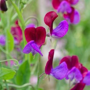 Lathyrus Odoratus 'Cupani',Sweet Pea 'Cupani', Bicolor Flowers, Fragrant Flowers, Red Flowers, Purple Flowers, Annuals, Annual plant, Cut flowers, deer resistant flowers