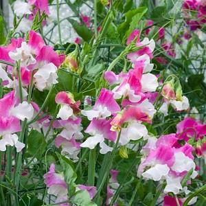 Lathyrus Odoratus 'Promise',Sweet Pea 'Promise', Fragrant Flowers, Pink Flowers, White Flowers, Annuals, Annual plant, Cut flowers, deer resistant flowers