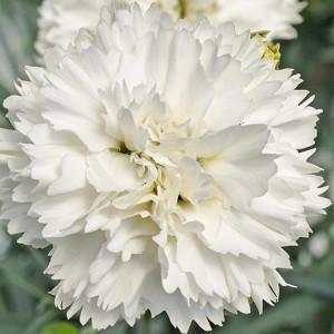 Dianthus 'Memories', Garden Pink 'Memories', Scent First Pinks 'Memories', White Carnation, White Garden Gink, Repeat Flowering Garden Pink, Fragrant Garden Pink