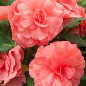 Begonia 'Roseform Pink', Tuberhybrida Begonia 'Roseform Pink', Double Begonias, Tuberous Begonias, Pink Begonias,  shade loving plants, summer flower bulbs, shade plants, Shade flowers