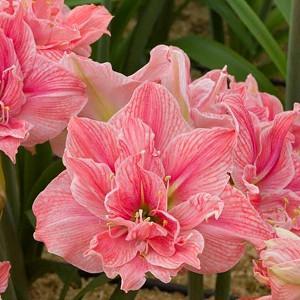 Amaryllis flower bulb MEILENIS ELVAS Hippeastrum Double
