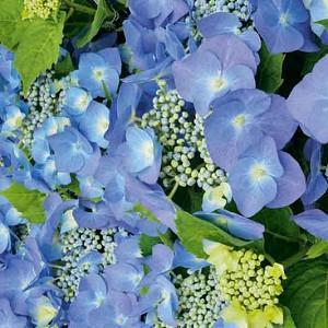 Hydrangea Macrophylla 'Blaumeise', Bigleaf Hydrangea 'Altona', Bigleaf Hydrangea 'Blaumeise', French Hydrangea 'Blaumeise', Lacecap Hydrangea 'Blaumeise', Hydrangea macrophylla BLUE SKY, Hydrangea macrophylla BLUE TIT, Hydrangea macrophylla 'Blue Sky Teller', Hydrangea macrophylla Teller Blau, Hydrangea macrophylla 'Teller Blue', Hydrangea 'Teller Blau', Blue hydrangea,