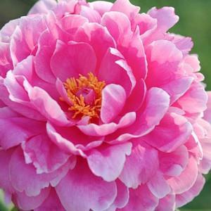 Paeonia 'Rozella', Peony 'Rozella', 'Rozella' Peony, Pink Flowers, Pink Peonies, Fragrant Peonies