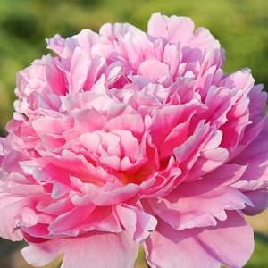 Paeonia Lactiflora 'Pink Parfait', Peony 'Pink Parfait', 'Pink Parfait' Peony, Pink Flowers, Pink Peonies, Fragrant Peonies