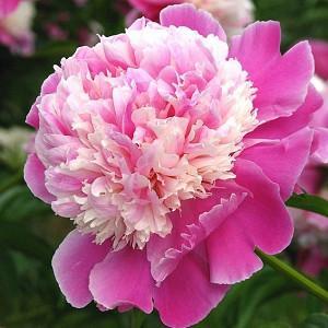 Paeonia Lactiflora 'Cora Stubbs', Peony 'Cora Stubbs', 'Cora Stubbs' Peony, Chinese Peony 'Cora Stubbs', Common Garden Peony 'Cora Stubbs', Pink Peonies, Pink Flowers, Fragrant Peonies