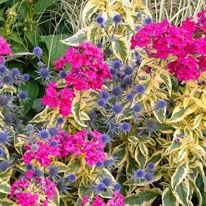 Phlox Paniculata 'Goldmine', Phlox 'Goldmine', Border Phlox 'Goldmine', Fall Phlox 'Goldmine', Garden Phlox 'Goldmine', Perennial Phlox 'Goldmine', Summer Phlox 'Goldmine', Pink Phlox, Variegated Phlox