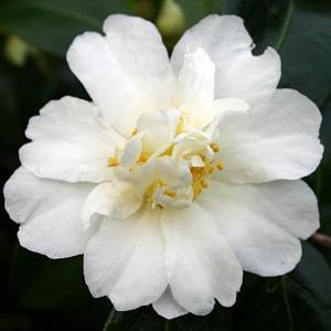 Camellia 'Polar Ice','Polar Ice' Camellia, Cold Hardy Camellias, Camellia Hybrids, Winter Series Camellias, White flowers, Fall Camellias, Fall Blooming Camellias, Winter Blooming Camellias