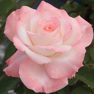 Rosa 'Secret', Rose 'Secret', Rosa 'HILaroma', Hybrid Tea Roses, Shrub Roses, Pink roses, Shrub roses, Rose bush