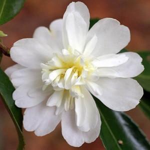 Camellia 'Snow Flurry','Snow Flurry' Camellia, Cold Hardy Camellias, Camellia Hybrids, Winter Series Camellias, White Camellias, Fall Camellias, Fall Blooming Camellias, Winter Blooming Camellias, Early season Camellias
